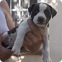 Adopt A Pet :: Dallas - Dana Point, CA