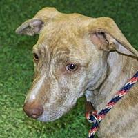 Adopt A Pet :: Ripple is an Old Soul - Rowayton, CT