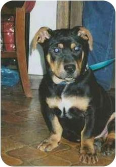 Basset Hound/Rottweiler Mix Dog for adoption in Owatonna, Minnesota - Poiboy