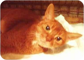Abyssinian Cat for adoption in New York, New York - Simba