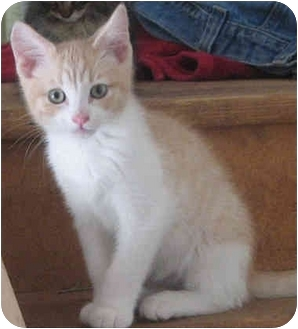 Domestic Mediumhair Kitten for adoption in Davis, California - Mo Curious