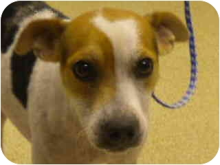Terrier (Unknown Type, Small) Mix Dog for adoption in Haughton, Louisiana - Justin Matisse