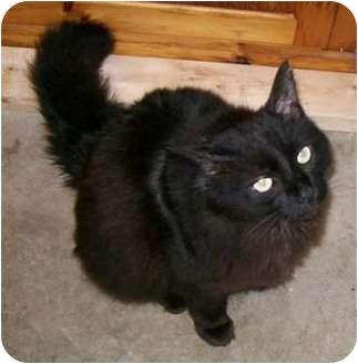 Domestic Longhair Cat for adoption in Merrifield, Virginia - Midnight