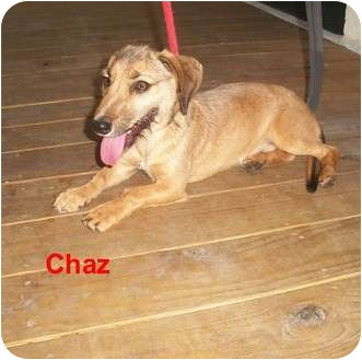 Dachshund Mix Dog for adoption in Slidell, Louisiana - Chaz