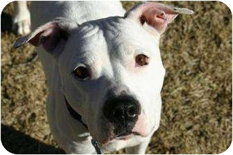 American Pit Bull Terrier Mix Dog for adoption in Rexford, New York - Jessie
