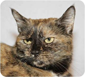 Domestic Shorthair Cat for adoption in Carlisle, Pennsylvania - Baby Girl