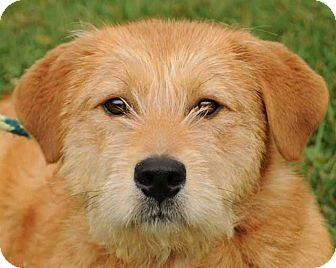 Terrier (Unknown Type, Medium)/Airedale Terrier Mix Dog for adoption in Pittsboro, North Carolina - Rufus
