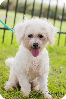 Bichon Frise/Poodle (Miniature) Mix Dog for adoption in Houston, Texas - Austin