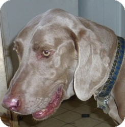 Weimaraner Dog for adoption in Sun Valley, California - Hutch