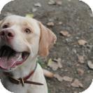 Labrador Retriever Mix Dog for adoption in Wallaceburg, Ontario - Simba