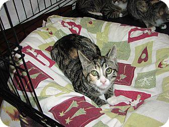 Domestic Shorthair Kitten for adoption in Speonk, New York - Arianna