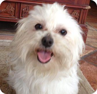 Maltese Mix Dog for adoption in Thousand Oaks, California - Tucker