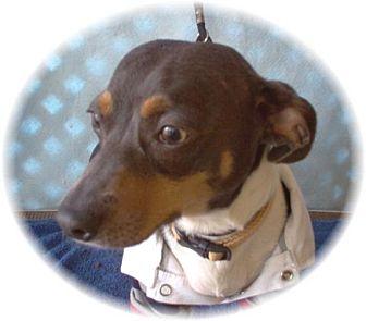 Dachshund/Chihuahua Mix Dog for adoption in Tucson, Arizona - Mickey