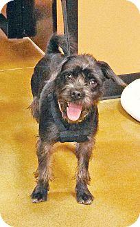 Schnauzer (Miniature) Mix Puppy for adoption in Wichita, Kansas - Foster