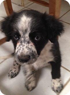 Border Collie Mix Puppy for adoption in Tucson, Arizona - Malcolm