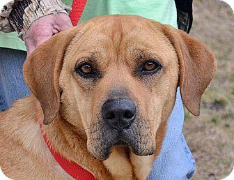 Labrador Retriever/Hound (Unknown Type) Mix Dog for adoption in Searcy, Arkansas - Tory