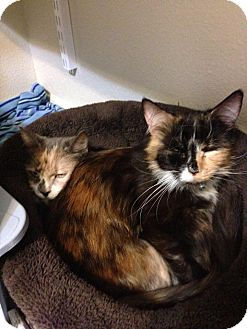 Calico Cat for adoption in Arlington/Ft Worth, Texas - Mango