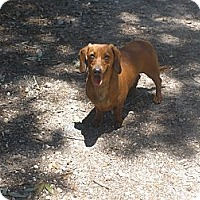 Adopt A Pet :: Bucky - Cantonment, FL