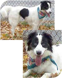 Border Collie Dog for adoption in Stephentown, New York - Fly