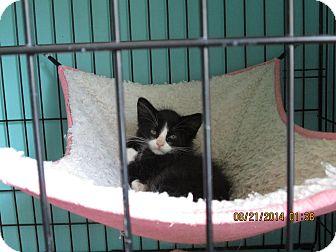 Domestic Longhair Kitten for adoption in Rochester, Minnesota - Starla