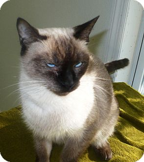 Siamese Cat for adoption in Eastpoint, Florida - tiana