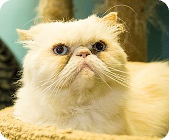 Persian Cat for adoption in Seville, Ohio - Bruce