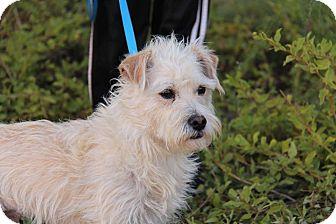 Cairn Terrier/Westie, West Highland White Terrier Mix Dog for adoption in Phoenix, Arizona - Spencer