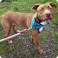 Adopt A Pet :: Vixen - Crescent City, CA