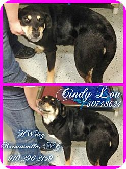 Shepherd (Unknown Type)/German Shepherd Dog Mix Dog for adoption in Kenansville, North Carolina - CINDY LOU WHO