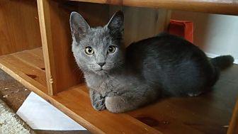 Domestic Shorthair Cat for adoption in Philadelphia, Pennsylvania - Blue