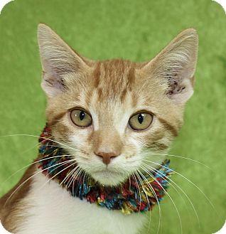 Domestic Shorthair Kitten for adoption in Jackson, Michigan - Johnny