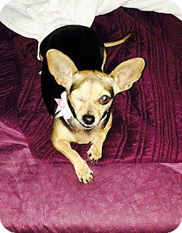 Chihuahua Dog for adoption in Oviedo, Florida - Siya