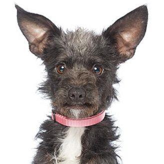Terrier (Unknown Type, Small)/Schnauzer (Miniature) Mix Puppy for adoption in Los Angeles, California - Zooey Deschanel