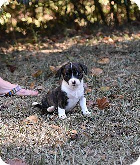 Dachshund Mix Puppy for adoption in Groton, Massachusetts - Duchess
