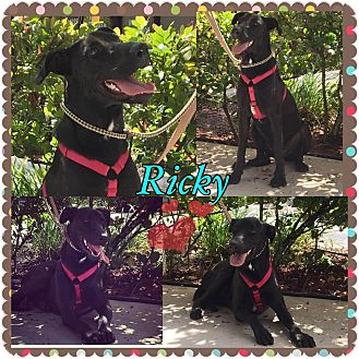Labrador Retriever Mix Puppy for adoption in hollywood, Florida - Ricky