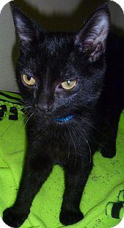 Domestic Shorthair Cat for adoption in Hamburg, New York - Little Jack