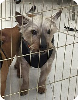 Yorkie, Yorkshire Terrier/Silky Terrier Mix Dog for adoption in Beavercreek, Ohio - Beau