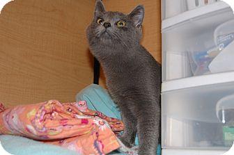 Russian Blue Kitten for adoption in Whittier, California - Smokey Joe
