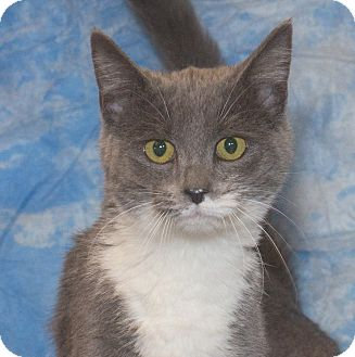 Domestic Shorthair Kitten for adoption in Elmwood Park, New Jersey - Ali