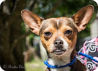 Jack Russell Terrier Mix Dog for adoption in Daleville, Alabama - Taco