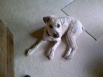 Wheaten Terrier Dog for adoption in Columbus, Ohio - Dracey