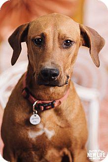 Redbone Coonhound/Labrador Retriever Mix Dog for adoption in Portland, Oregon - Ginger