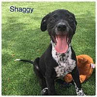 Adopt A Pet :: CO/Shaggy - Seattle, WA