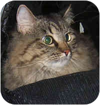 Maine Coon Cat for adoption in Dallas, Texas - Perris