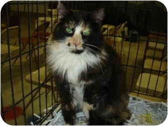 Calico Cat for adoption in Leoti, Kansas - Patches**
