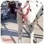 Photo 3 - Dalmatian Dog for adoption in Mandeville Canyon, California - Sierra