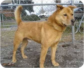 Chow Chow Mix Dog for adoption in Greenville, North Carolina - Ozzie - Great Watch Dog