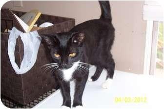 Domestic Shorthair Kitten for adoption in Saint Albans, West Virginia - Magic