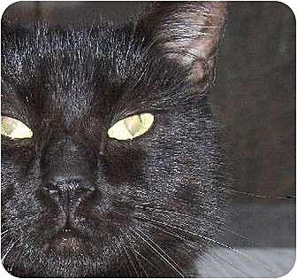 British Shorthair Cat for adoption in Columbus, Ohio - Toby