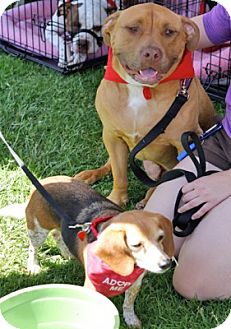 Mastiff Mix Dog for adoption in Los Angeles, California - CHEWEY